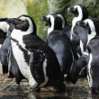 Penguins — Stock Photo #9800317