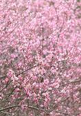 Fiore di susina — Foto Stock