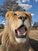Close up of a lion in south africa — Stock Photo