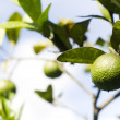 Lime, fruit on tree — Stock Photo