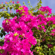 Bougainvillea flower bush — Stock Photo
