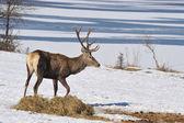 Ciervos rojos — Foto de Stock