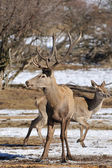 Red deer — Stockfoto