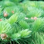 kolczaste gałęzie jodły — Zdjęcie stockowe