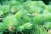 Prickly branches of fir — Stock Photo