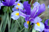 Blue colored iris flower — Stock Photo