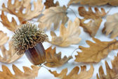 Acorn and oak tree leaves — Stock Photo