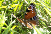 Butterfly In Grass — Stock Photo