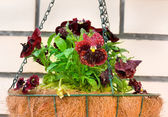 Pansies in flower hanging basket — Stock Photo