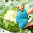 No man's baby new born and found in cabbage — Stock Photo