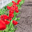 Red tulips — Stock Photo #10674866