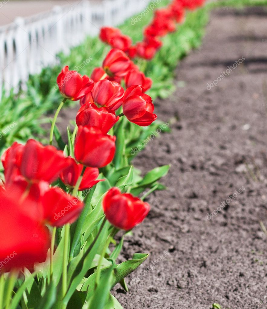 Beautiful red tulips in spring — Stock Photo #10674866