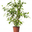 Stock Photo: Ficus