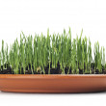 Wheat grown — Stock Photo