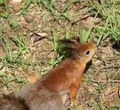 Squirrel — Stockfoto