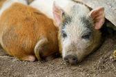 Little pigs — Stock Photo