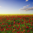 Spring poppy field — Stock Photo