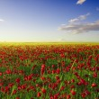 Spring poppy field — Stock Photo #10189541