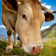 Cow grazing — Stock Photo