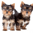 Couple of puppies — Stock Photo