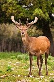Ciervos salvajes — Foto de Stock