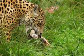 Jaguar 2 — Stock Photo