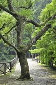 árbol de alcanfor — Foto de Stock