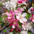Stock Photo: Spring orchard flowers