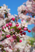 Spring orchard flowers — Stock Photo