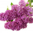 Branch of purple lilac isolated on white — Stock Photo