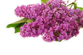 Branch of purple lilac as background — Stock Photo