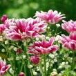 Pink and white chrysanthemum in the garden — Stock fotografie