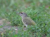 Grey-headed Woodpecker — Stock Photo