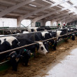 Stock Photo: Dairy cows in farm.