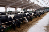 Dairy cows in a farm. — Foto Stock