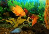 Aquarian fishes — Stock Photo