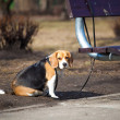 Beagle waiting strapped to bench - Stok fotoraf