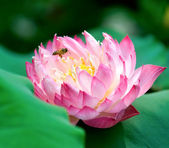 Blooming lotus flower and a bee — Stock Photo