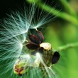 Stock Photo: Fluff of seed