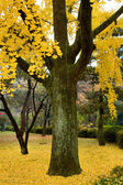 Gingko — Photo