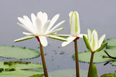 White water lilies — Stock Photo
