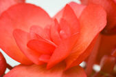Closeup of blooming red begonia — Stock Photo