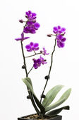 Orchid flower isolated on white — Stock Photo