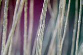 Reed — Stock Photo