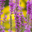 Lythrum Salicaria — Stock Photo #8161901