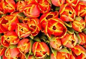 Background from tulips — Stock Photo