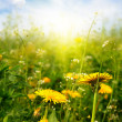 Dandelions sunlit — Stock Photo