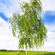 white birch — Stock Photo