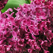 Lilás. fundo de primavera. — Foto Stock