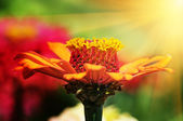 Beautiful flower in rays sun — Stock Photo